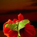 Luna Moth Poppy Evening Sky by Randall Branham