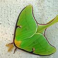 Luna Moth by Susan Duda