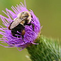 Lunching Atop A Thistle by Laurel Talabere
