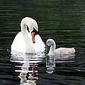 Lunchtime For Swan And Cygnet by Rona Black