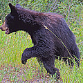 Lunging Black Bear Near Road In Grand Teton National Park-wyoming   by Ruth Hager