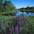 Lupin And Lake by Tom Daniel