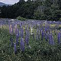 Lupin Field by Bruce Woodruff