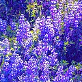 Lupine 2 by Pamela Cooper