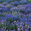 Lupine And Aster by Greg Vaughn