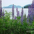 Lupine At Sorrento by Christopher Mace