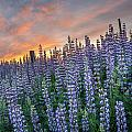Lupine Dawn by Greg Nyquist