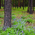 Lupine Forest by Mike  Dawson