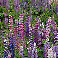 Lupine Mix by Hella Buchheim