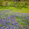 Lupine Oak by Alice Cahill