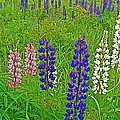 Lupine On Campobello Island-nb by Ruth Hager