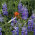 Lupine With Paintbrush 2 by Kevin Buffington