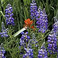 Lupine With Paintbrush by Kevin Buffington