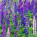 Lupines by Alan L Graham