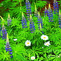 Lupines And Daisies 11 by Tammy Bullard
