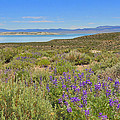Lupines At Mono Lake by Lynn Bauer