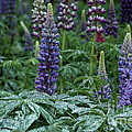 Lupines In The Rain by Kenny Glotfelty
