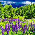 Lupines Light by Greg Fortier