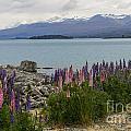 Lupins By Lake Tekapo by Bob Phillips