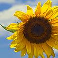 Lus Na Greine - Sunflower On Blue Sky by Sharon Mau