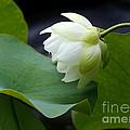 Luscious Lotus by Sabrina L Ryan