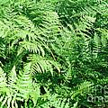 Lush Green Fern by Connie Fox