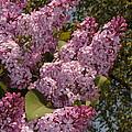 Lush Lilacs by Carol Groenen