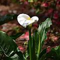 Lush Lily by Maria Urso