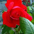 Luss Rose by Nancy L Marshall