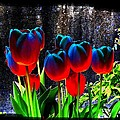 Lustrous Tulips by Will Borden