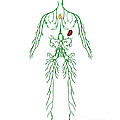 Lymphatic System, Illustration by Gwen Shockey