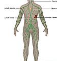 Lymphatic System In Male Anatomy by Gwen Shockey