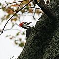 Lyndonville Pileated Woodpecker by Neal Eslinger
