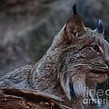 Lynx by Bianca Nadeau