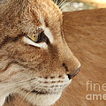 Lynx Profile by Wonders of Nature Photography