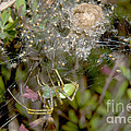 Lynx Spider And Young by Anthony Mercieca