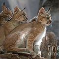 Lynx Trio by Bianca Nadeau