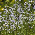 Lyreleaf Sage Wildflowers - Salvia Lyrata by Kathy Clark
