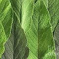 M7500790 - Sage Leaves by Spl