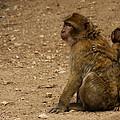 Macaque Monkeys by Ivan Slosar