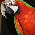 Macaw Profile by John Telfer