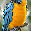 Macaw Profile by Richard Bryce and Family