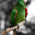 Macaw With Black And White Background by Eva Kaufman