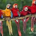 Macaws by Frans Lanting MINT Images