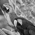 Macaws Of Color B W 14 by Rob Hans