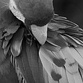 Macaws Of Color B W 16 by Rob Hans