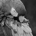 Macaws Of Color B W 17 by Rob Hans