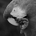 Macaws Of Color B W 18 by Rob Hans