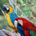 Macaws Of Color23 by Rob Hans