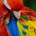 Macaws Of Color25 by Rob Hans